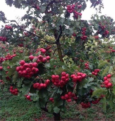 绿丰农业.水果采摘