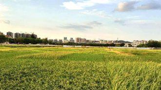 """""""海水稻""""成为解决粮食安全问题新思路"""